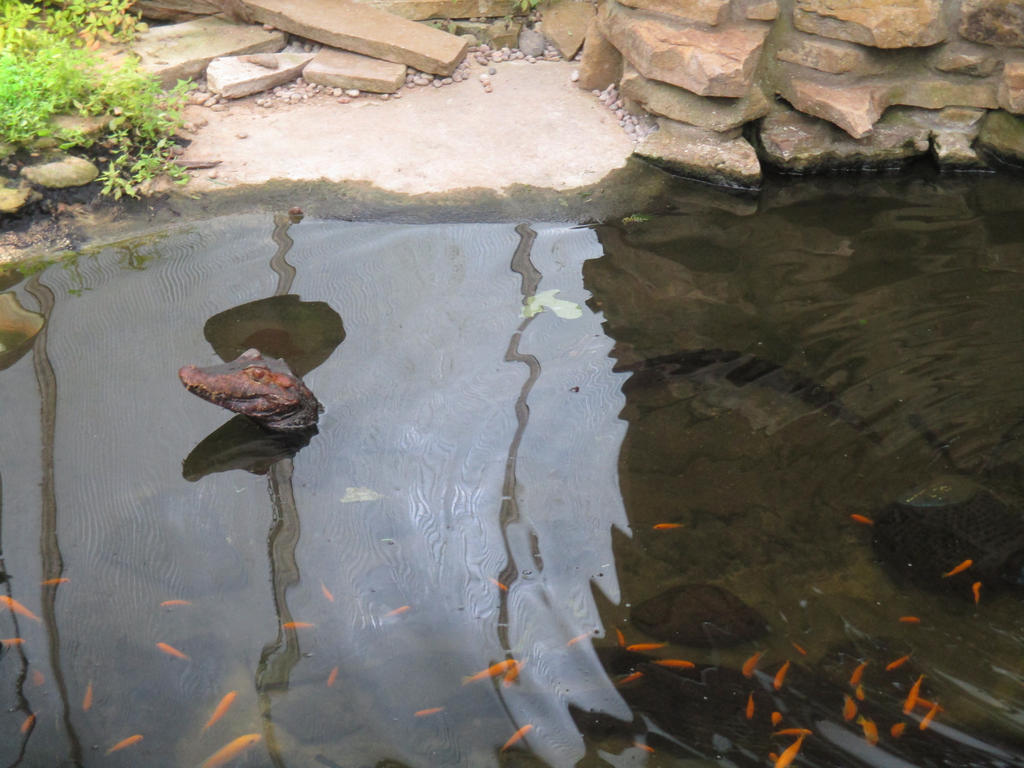 Caiman, Shepreth Wildlife Park by ThornyEnglishRose