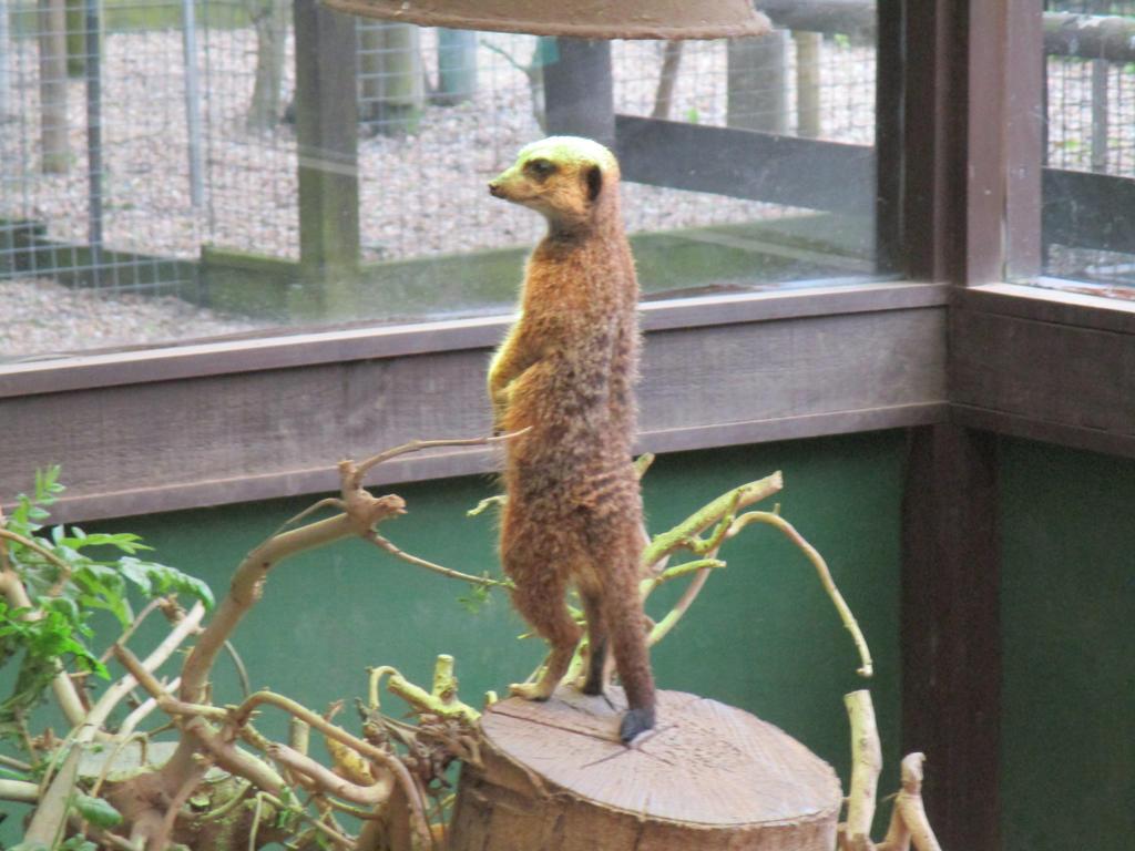 Meerkat, Shepreth Wildlife Park by ThornyEnglishRose