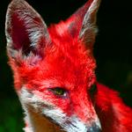 Sin's Second Fox Mannip by Jiel