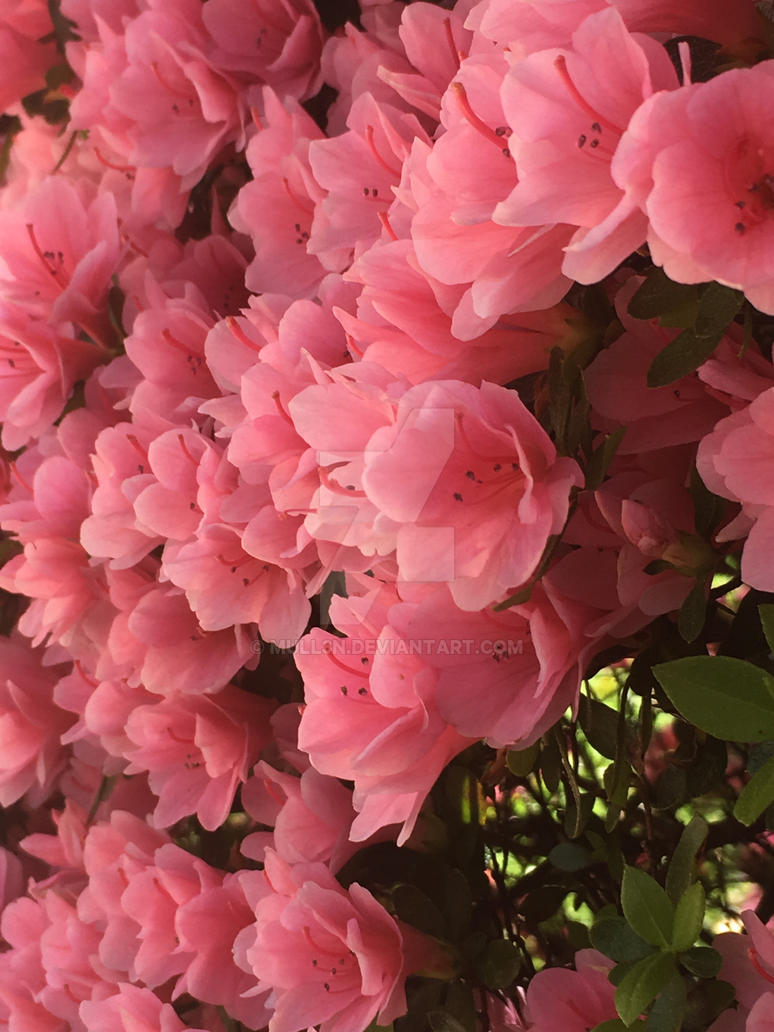 I managed to find some pretty pink flowers by mull3n on deviantart i managed to find some pretty pink flowers by mull3n mightylinksfo