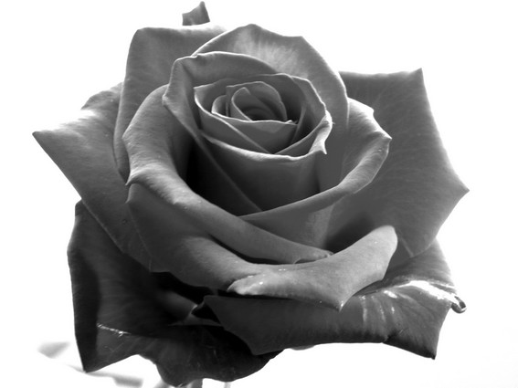 black and white rose by Soledad72 on DeviantArt