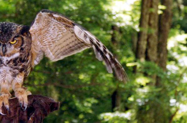The Great Horned Owl 2 by NightmareAngel-91779