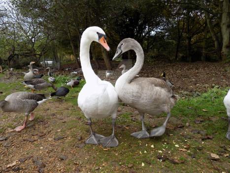 Love Heart Swans
