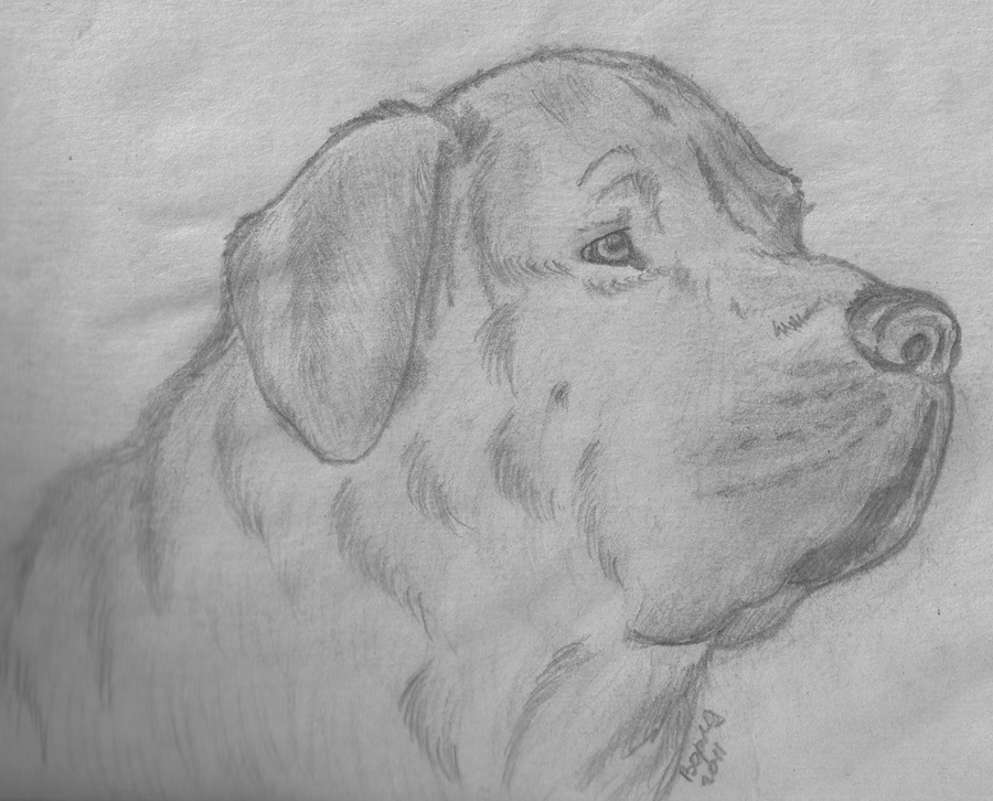 http://fc07.deviantart.net/fs71/i/2011/270/a/a/south_african_boerboel_by_worldshade-d4b3lnb.png