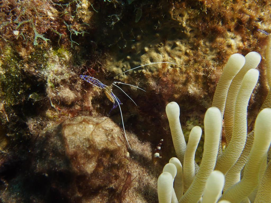 Glassy Shrimp by Meagharan