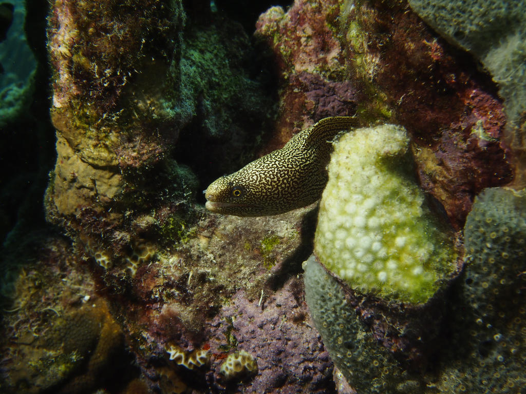 Golden Moray by Meagharan