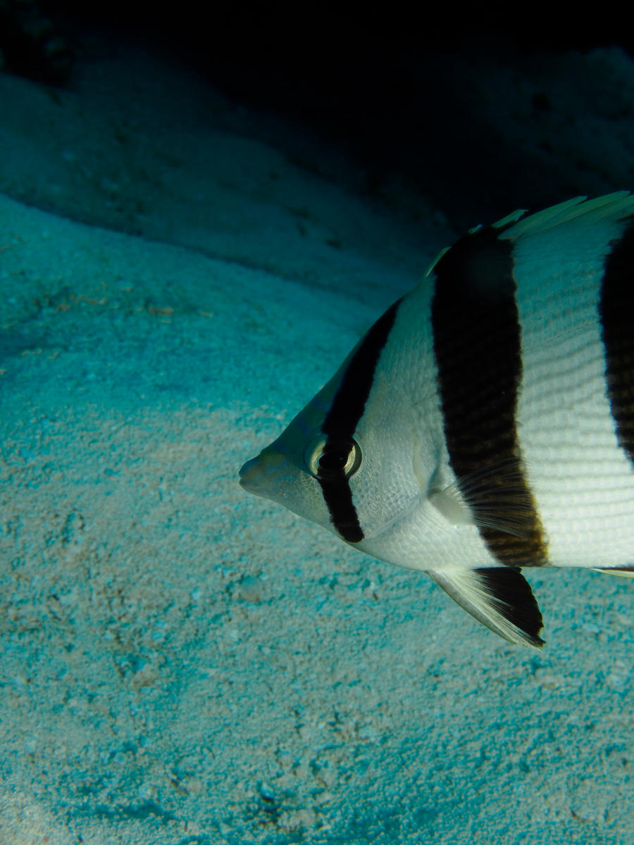 Banded butterflyfish by Meagharan