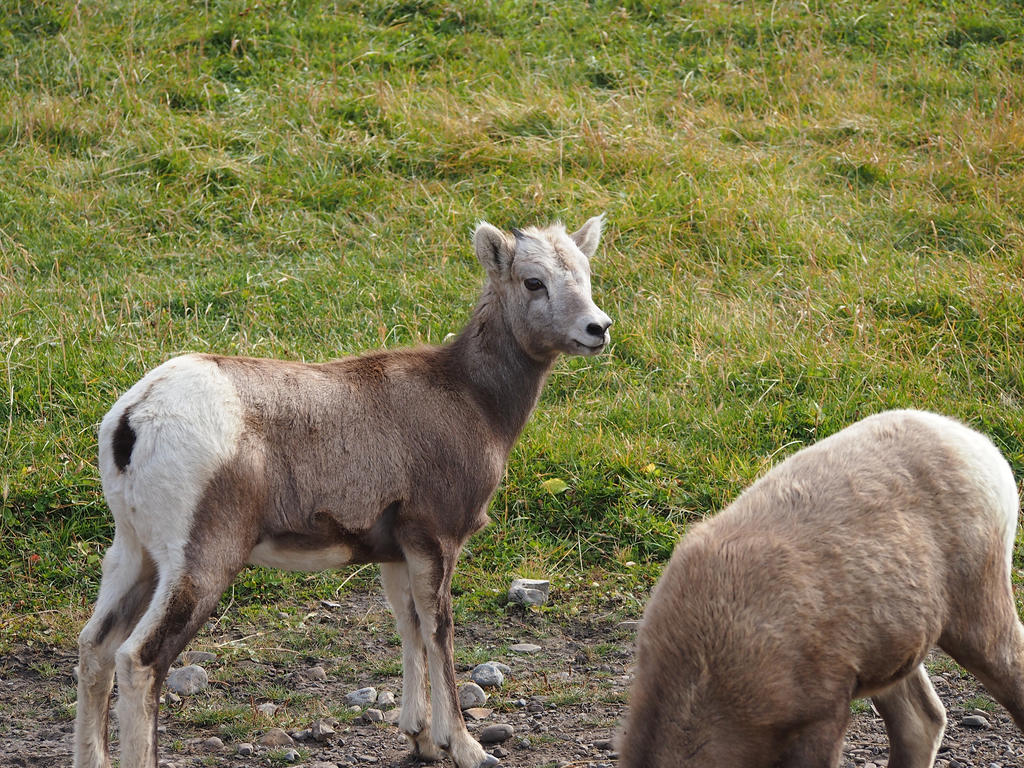 Bighorn sheep ewe by Meagharan