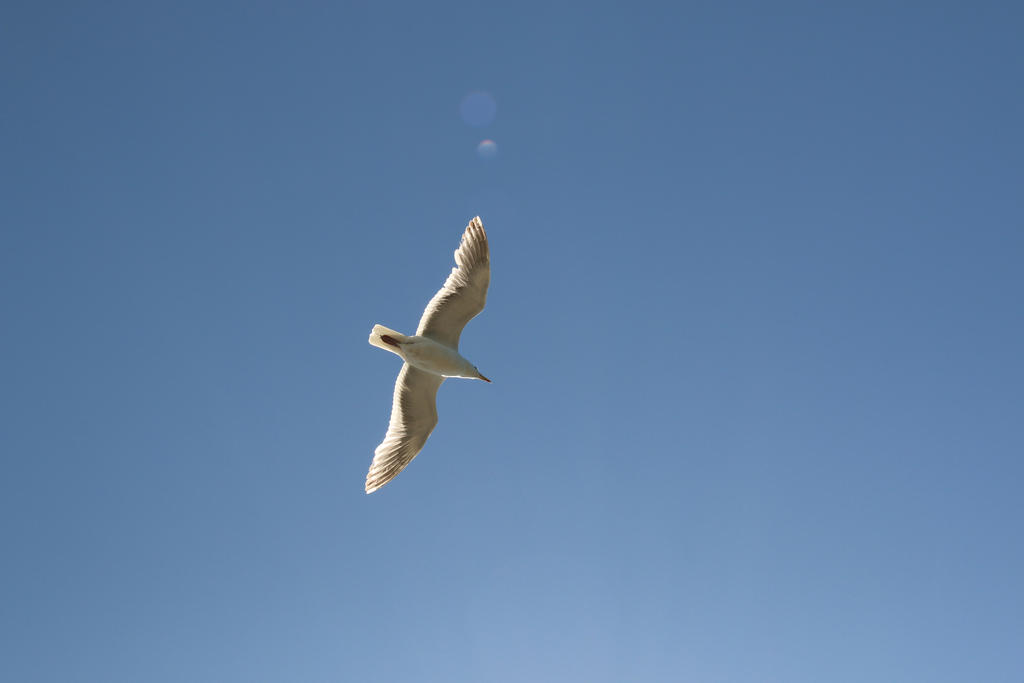 Soaring Seagull by Meagharan