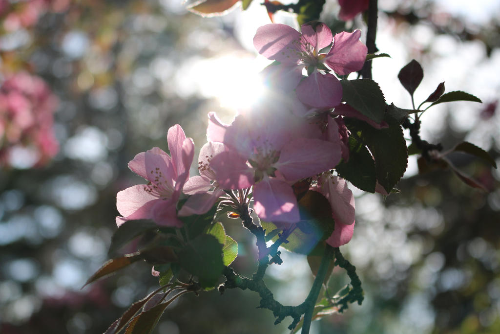 Pink Flowers blocking the Sun by Meagharan