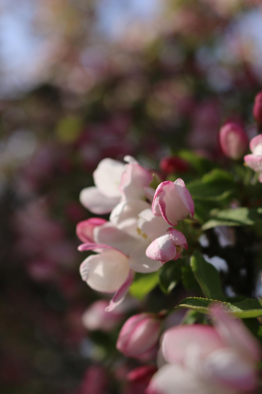 Pink lips on a white bud by Meagharan