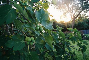 Summer's Fig Tree by VeggieSandwiches