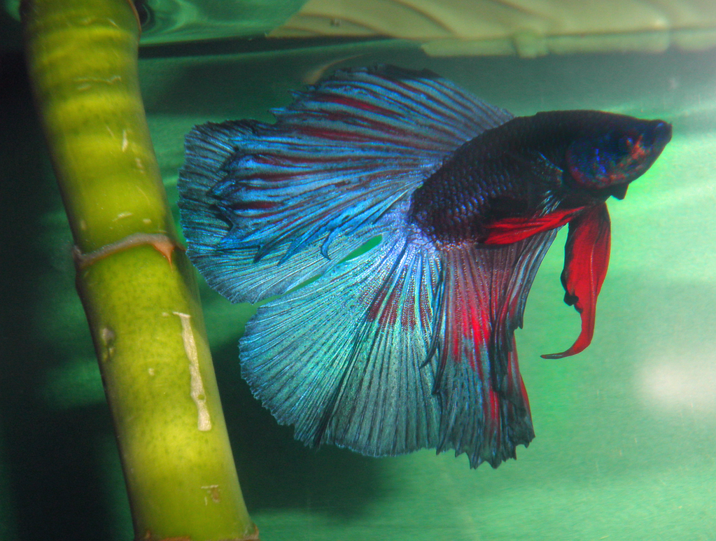 Bluu\'s Guide to Keeping a Healthy Betta Fish by BluuWynter on DeviantArt