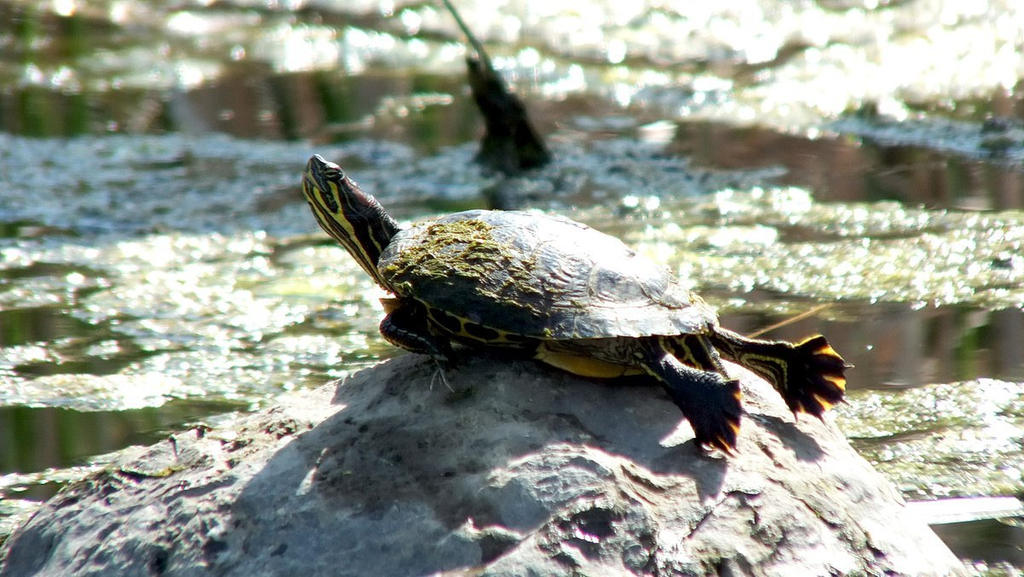 So You Just Got A Red Eared Slider By Bluuwynter On Deviantart