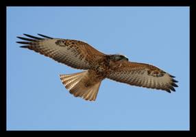 Galapagos - Galapagos Hawk by Andy-Stewart