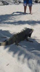 Iguana play in the sand? by Mickeymcp