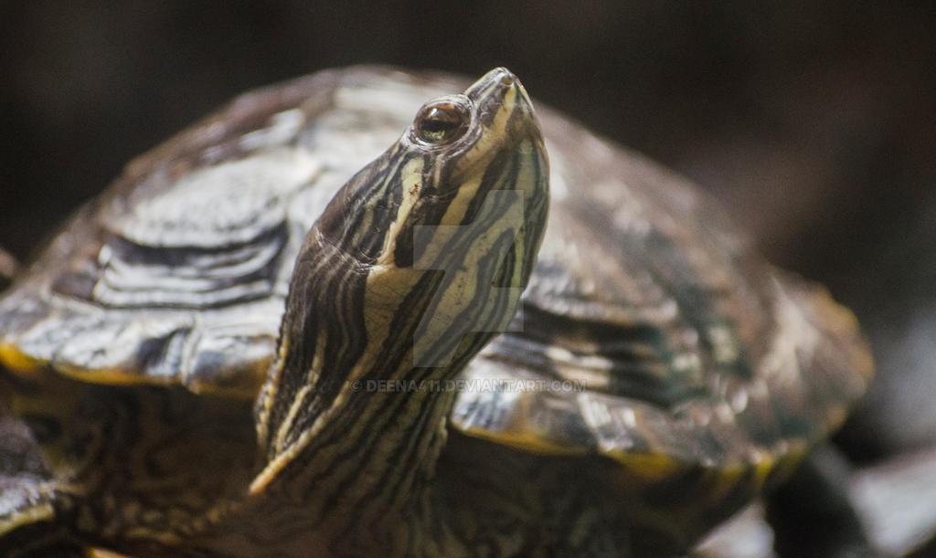 Turtle by Deena411