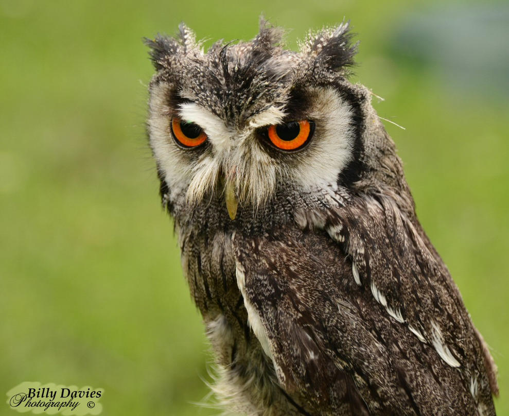 White Faced Owl by Rockin-billy