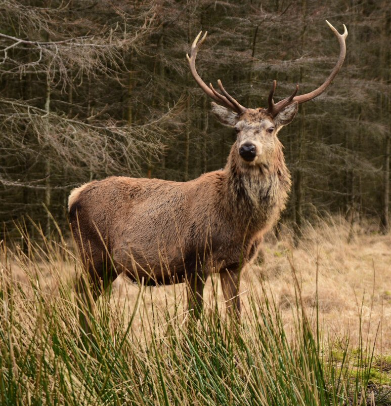 Young Buck of Etive by Rockin-billy