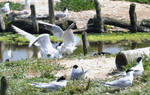 Black Headed Gulls - Neighbors from Hell 3