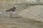 Little Oystercatcher