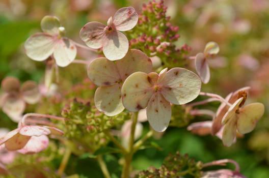 Morton Arboretum - Fall 2016 - (9) - Hydrangea