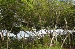 Mangrove 3