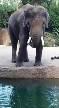 elephant stock 03