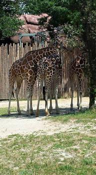 giraffe stock 04