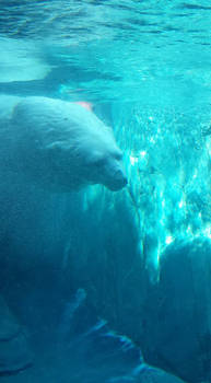 polar bear stock 04