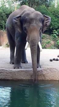 elephant stock 06