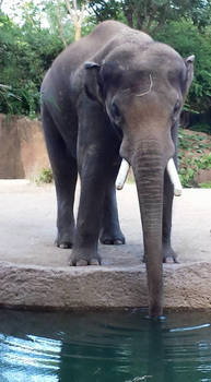 elephant stock 07