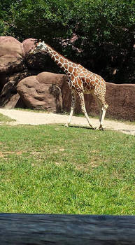 giraffe stock 05