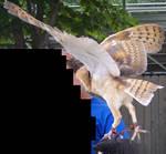 Barn Owl 9 by EmberStock