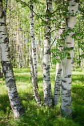 Birches by jjuuhhaa