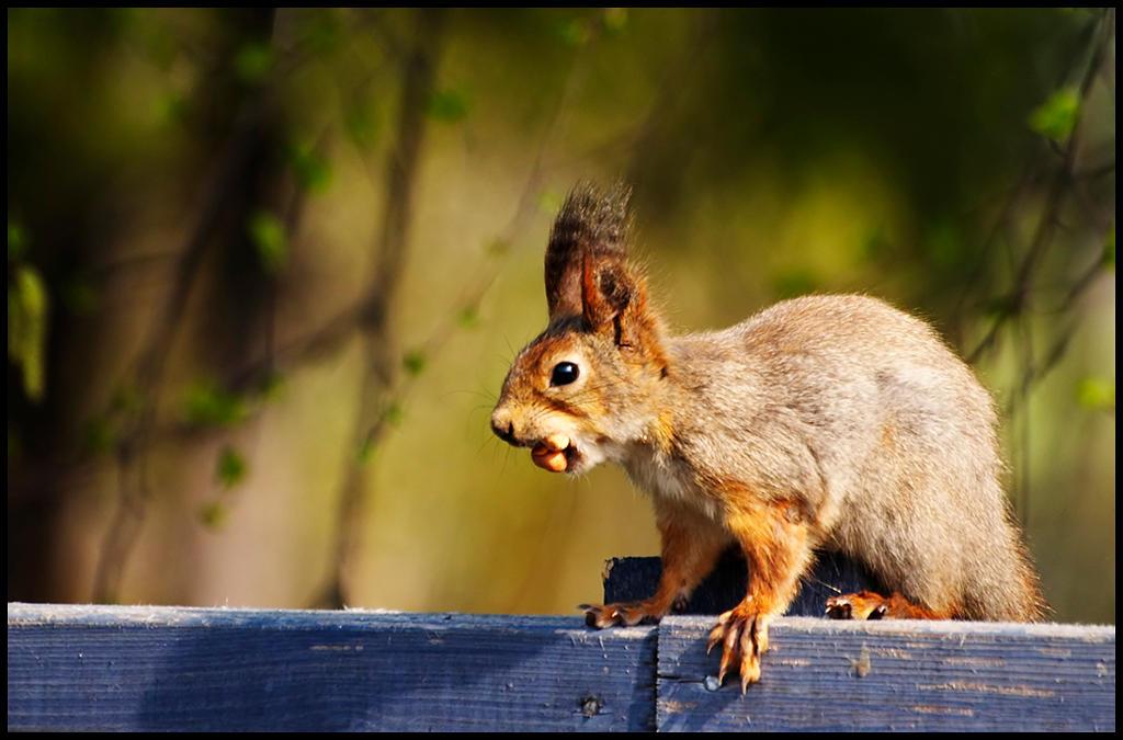 a Squirrel by jjuuhhaa