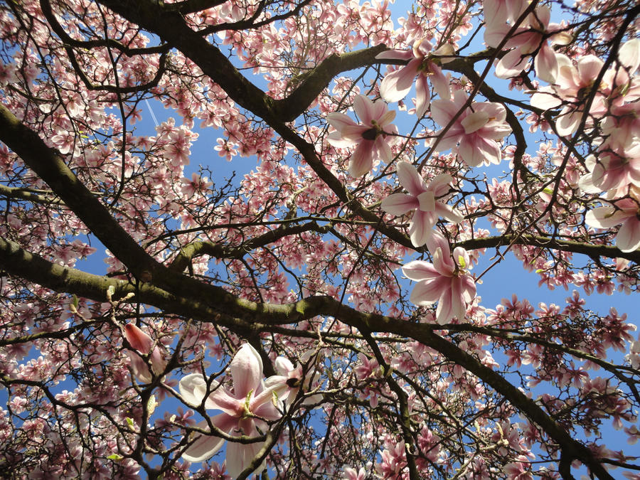 Magnolia by Traumfaengerin-Wish