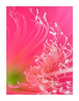 Pink Surf II by wolfskin