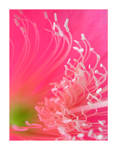 Pink Surf II