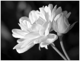 White by wolfskin