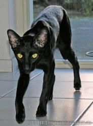 Nintu the black hunter by FelisGlacialis