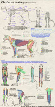 OLD - Cheederian anatomy by FelisGlacialis
