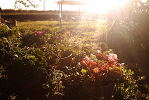 Sunset garden by TomRolfe