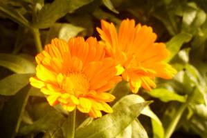 Orange Flower. by TomRolfe