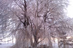 Frosty Willow by TomRolfe