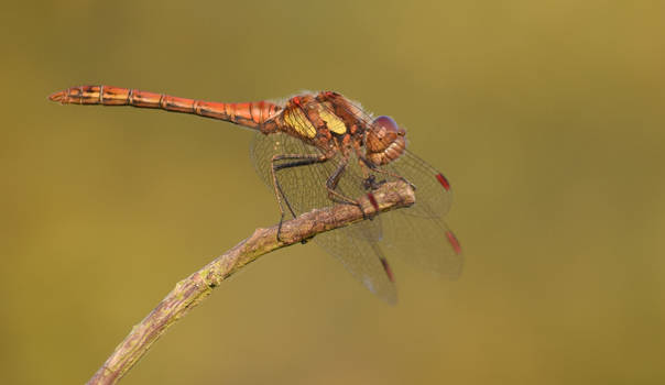 Summer Dragonfly by TomRolfe