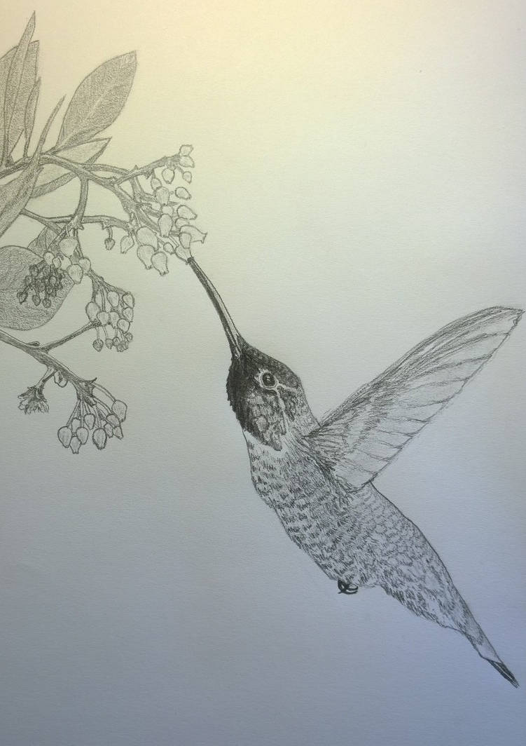 04e38c444 Hummingbird pencil sketch by gerhard von liebau