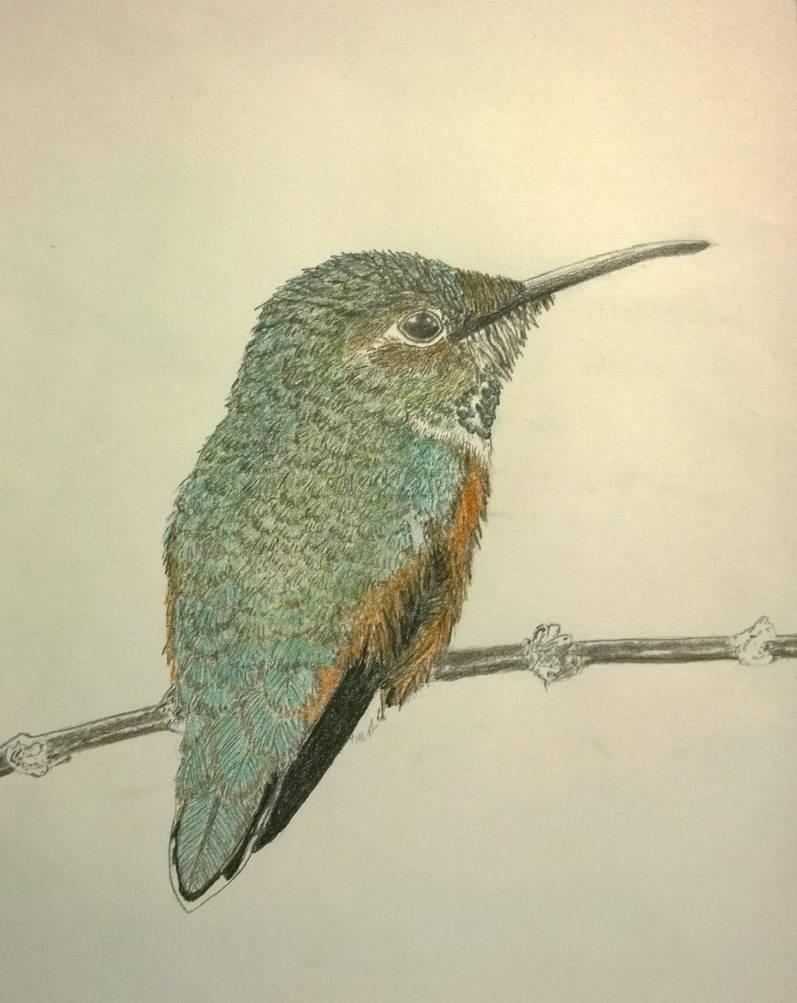 Allens hummingbird colored pencil sketch by gerhard von liebau