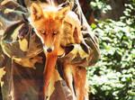 Red Fox 02