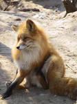 Red Fox 08